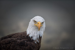 American Bald Eagle (Susan Newgewirtz) Tags: eagle raptor bird americanbaldeagle depthoffield wildlife worldsbestnikonshots nikkor300mm nikon diamondclassphotographer