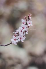 (Wolf's kurai) Tags: canon wolfskurai ume flowers bokeh