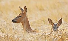 Roe Deer (PETEJLB) Tags: roedeer deer doe fawn mammal bowoodestate wiltshirewildlife wiltshire uk