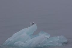 7-15-foggykittiwakes-2319 (h.redpoll) Tags: norway blackleggedkittiwake driftice fogsvalbard