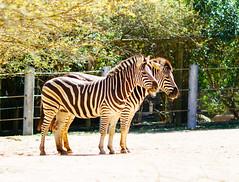 Zebras (VirtualWolf) Tags: animal australia canonef135mmf2lusm canoneos7d equipment mammal mosman newsouthwales places sydney tarongazoo wildlife zebra