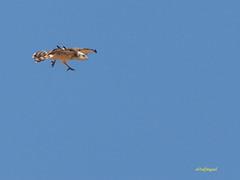 Joven de Culebrera europea (Circaetus gallicus) (1) (eb3alfmiguel) Tags: aves rapaces diurnas culebrera europea