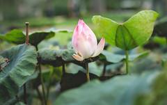 ..Waiting for the sun (Kiss Midori) Tags: lotus nature beautiful sen green background