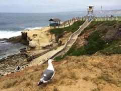 Seagull at La Jolla Cove, California (` Toshio ') Tags: toshio sandiego california seagull lajolla lajollacove cove beach stairs bird lifeguardtower cliffs usa america iphone sand pacific ocean