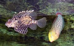 Zoo Ffm Rotfeuerfisch (Pterois volitans) + Knigsjunker (Coris formosa) P1010829 (martinfritzlar) Tags: zoo frankfurt tier fisch barsch scorpionfisch feuerfisch rotfeuerfisch scorpaenidae pterois volitans red lionfish lippfisch knigsjunker labridae coris formosa queen