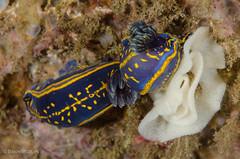 DSC_6778 (bajo_el_mar) Tags: 2016 cantbrico hypselodoriscantbrica lastres underwater fotosub moluscos nudibranquio