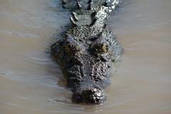 Croc (matt_penman) Tags: croc crocjumping adelaideriver darwinwildlife wildlife australianwildlife