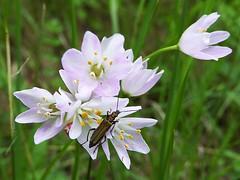 mi piace l'aglio :) (fotomie2009) Tags: allium roseum insecta insetto insect oedemera flower fiore flora wild nature