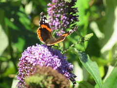 236:365, 2016, Red Admiral IMG_4611 (tomylees) Tags: redadmiral butterfly ramsgate kent august 2016 tuesday 23rd project 365