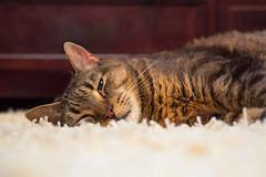 Cleatus at Rest (Blaine Linton) Tags: cat cats feline felines meow pet pets sleep sleeping rest resting