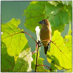 Blue Grosbeak, Female (RKop) Tags: a77mk2 600mmf4apogminolta armlederpark ohio cincinnati raphaelkopanphotography sony