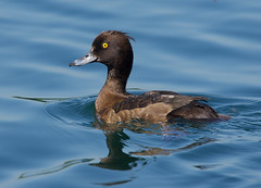Tufted Duck-female-flkr (timcoleman1) Tags: tufted duck