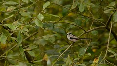 One of the Flock (J @BRX) Tags: adeldam goldenacrepark bramhope leeds yorkshire england uk august2016 summer bird longtailedtit tit tits long tail green tree yorkshirewildlifetrust
