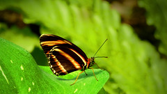 Butterfly & leaf (M.patrik) Tags: butterfly leaf nature stripes insect blur bokeh green macro