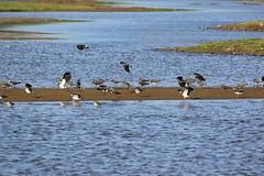 Lapwings take-off and landing (WhitePointer) Tags: rspb leighton moss arnside silverdale aonb lapwing