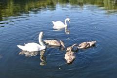 eine Schwanenfamilie im Villenhofer Maar (mama knipst!) Tags: schwan swan vogel bird villenhofermaar