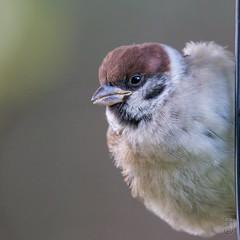 Eurasian Tree Sparrow (Passer montanus), juv.-7532 (Stein Arne Jensen) Tags: 1cy 1k bird buskerud canon70d canonef100400f4556lisusm eurasiantreesparrow europa europe feldsperling firstlivingyear fugl frstekalenderr gorrinmolinero juvenil juvenile kongsberg kongsgrdmoen moineaufriquet norway pajaro pardalmontez passermontanus passeridae pilfink primeraodevida ringmus rnesciza skogspurv sperlingsvgel spurvefamilien spurvefugler spurvfink steinarnejensen tsn179630 vogel avescanoras ihagen inmygarden lintu oiseau passereaux passeriformes passerines perchingbirds pikkuvarpunen pjaros singvgel songbirds