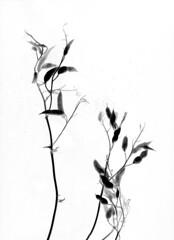 57680.03 Raphanus sativus (horticultural art) Tags: horticulturalart raphanussativus raphanus radish botanical seedpods tips blackandwhite bw