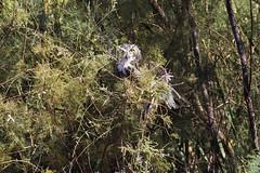 Great Horned Owl (surfneng) Tags: birds owl saltonsea great horned