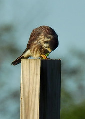 Pole Farm, NJ: Kestrel Eating Brunch (donna lynn) Tags: 2016 september polefarm mercermeadows meetup mercercounty birding nikon p900 outdoors wildlife nature