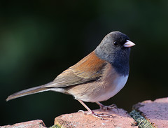 Dark-eyed Junco (janruss) Tags: bird junco ngc avian darkeyedjunco abigfave avianexcellence janruss janinerussell hennysanimals sunrays5