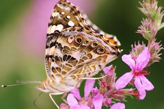 Freedom To Be... (bigbrowneyez) Tags: pink flowers nature beautiful butterfly wings pretty patterns natura spots pastels bella lovely fiori delicate farfalla delightful bellissimo naturesbeauty thegalaxy flickrfreedom freedomtobe