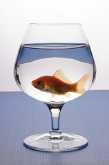 gold fish in the glass (UGO CUTILLI FOTOGRAFO) Tags: friends red game wet water animal happy amusement big team jump friend loneliness sad goldfish hole many ships joy group like drop spray study add foam only bubble dare concept burst removal pitcher poisson better exchange isolated gilt expand monotony happyness fattening voluptuousness hydrate funpacked