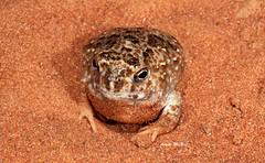 "Desert Spadefoot Toad (Notaden nichollsi) (Gus McNab) Tags: notadennichollsi desert spadefoot toad notaden nichollsi amphibian amphibians frog frogs herp herpetofauna herpetology amphibia australia ""australian frogs"" frog"" amphibians"" amphibian"" myobatrachidae wildlife ""wildlife photography"" fauna"