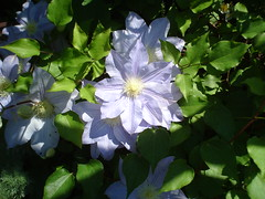 Lilac Clematis (James P. Mann) Tags: clematis lilac