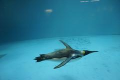 (ddsnet) Tags: travel bird birds japan zoo penguin sony birding 99  nippon   birdwatching nihon slt kyushu backpackers        bird   zoo nagasakiken zoobird     nagasakishi      birdwatchinginjapan   singlelenstranslucent 99v sltsinglelenstranslucent