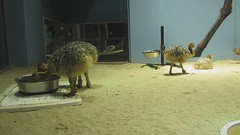 MVI_3077.MOV (thomas pix) Tags: ostrich chicks calacademy eyefi