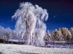 IMG_0099_IR - Weeping Willow, Machester, CT (Syed HJ) Tags: canon ir manchester ct willow infrared weepingwillow g9 manchesterct 630nm canong9