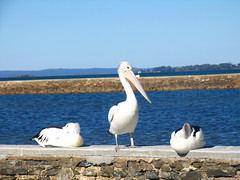 seagulls birds seagull gull gulls pelican moewe mage meeuw gabbiani meeuwen mouette seabirds pelikaan pelicano laridae zeemeeuw pellicano camar pelikaanit burungundan wynnumpelicans pelicansatwynnum