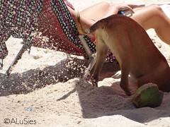 Cena Carioca (AluSies) Tags: brazil dog praia beach animal brasil riodejaneiro sand br rj areia coco cadeira canga cavar cavando