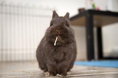 (jade_c) Tags: rabbit singapore netherlanddwarfrabbit