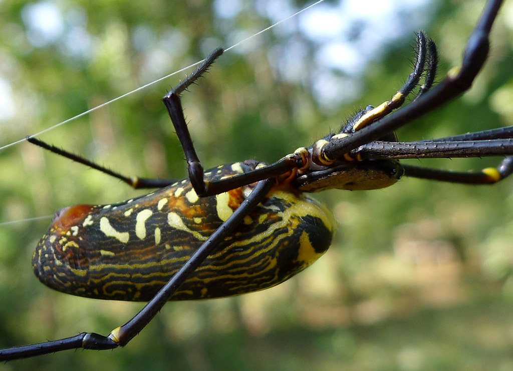 The World's most recently posted photos of nephila and wood