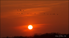 Sandhill Sunset (Dahai Z) Tags: sunset sandhillcranes jasperpulaski canon60d canon70200f4lis
