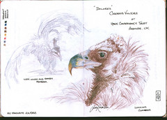 Cinerous Vulture (keepinsidethelines) Tags: copyright colour pencil all images jess dolores knowles 2012 cinereousvulture sketchbookproject2013