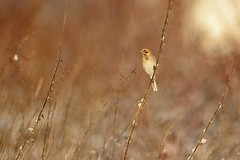 Reed Bunting (Emberiza schoeniclus) (m. geven) Tags: november autumn brown reed nature animal fauna herfst nederland thenetherlands seed natuur rough nettle dier avian vogel oiseaux bruin songbird avifauna rietveld reedbed gelderland foraging winterplumage emberizidae gors nld najaar jaarvogel reedbunting liemers emberizaschoeniclus zangvogel uitgebloeid brandnetel marshbird schutkleur rietgors dawned zaadeter rohrammer winterkleed bruantdesroseaux wintergast grotebrandnetel fourageren broedvogel moerasvogel doortrekker standvogel bruintint michelgeven gemeentemontferland foerageren akkeronkruid onkruidzaad akkerrand ruigte nederlandthenetherlandsniederlande serialfield sideoffield ongemaaid