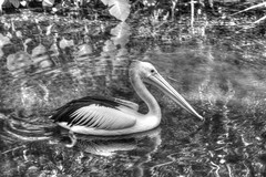 Pelican at the Billabong (Tintinara) Tags: park berry wildlife darwin pelican springs northern billabong territory