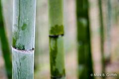 Bamboo Dreams (Mark Griffith) Tags: china hiking hike bamboo guangxi longsheng baishi baishivillage 20121130dsc8678