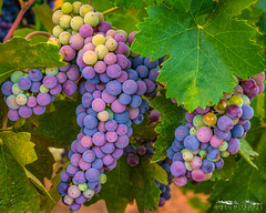 Veraison - Amador County, California (Tactile Photo | Greg Mitchell Photography) Tags: zinnias california grape amadorcounty wilderotter wednesday vineyard farm leaf summer cluster ranch leaves august vine