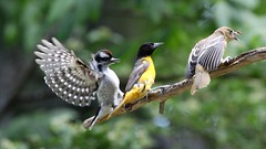 No room on the branch. (ricmcarthur) Tags: downey oriole bird nature stick rondeau ricmcarthur rickmcarthur rondeauric