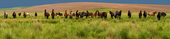 Palouse Ponies (horses) (MistyDaze) Tags: palouse horses washington easternwashingtonpalouse equine bay appaloosa black dun easternwashington palousefarmlands panorama explore highestposition66onfridayaugust192016 blueroan paint rodeo