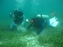 Collecting Seagrass Sample in Dugong Feeding Habitat_rez (Dugong Seagrass) Tags: id2 indonesia fieldwork scuba seagrass