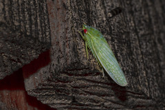 Red-Eyed Leaf Hopper (brucetopher) Tags: leafhopper redeye insects bugs bug night creature nightcreature creatureofthenight flyinginsect wing wings porchlightbug porchlight insect light green greenbug littlegreenbug