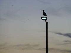 Dusk Herring Gull (Bull of the Bog) Tags: herringgull hunstanton dusk twilight street lamp norfolk silhouette
