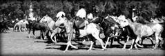 Entreverando (Eduardo Amorim) Tags: cavalos caballos horses chevaux cavalli pferde caballo horse cheval cavallo pferd cavalo cavall tropilla tropilha herd tropillas tropilhas     crioulo criollo crioulos criollos cavalocrioulo cavaloscrioulos caballocriollo caballoscriollos ayacucho provinciadebuenosaires buenosairesprovince argentina sudamrica sdamerika suramrica amricadosul southamerica amriquedusud americameridionale amricadelsur americadelsud eduardoamorim gaucho gauchos gacho gachos