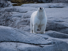 Good morning, I can smell you (thomas.reissnecker) Tags: eisbr travel arctica arktis msexpedition svalbard polarcicle gadventures gadv polarbear ngc