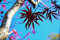 54/116 Springtime Japanese Maple blooming (Bella Lisa) Tags: japanesemaple leaves
